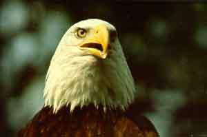 De Tête L'aigle Blanche À Écologique Réserve 8HwSH
