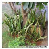 Sais tu que les plantes vertes peuvent purifier l air de ta maison - Plante langue de belle mere ...