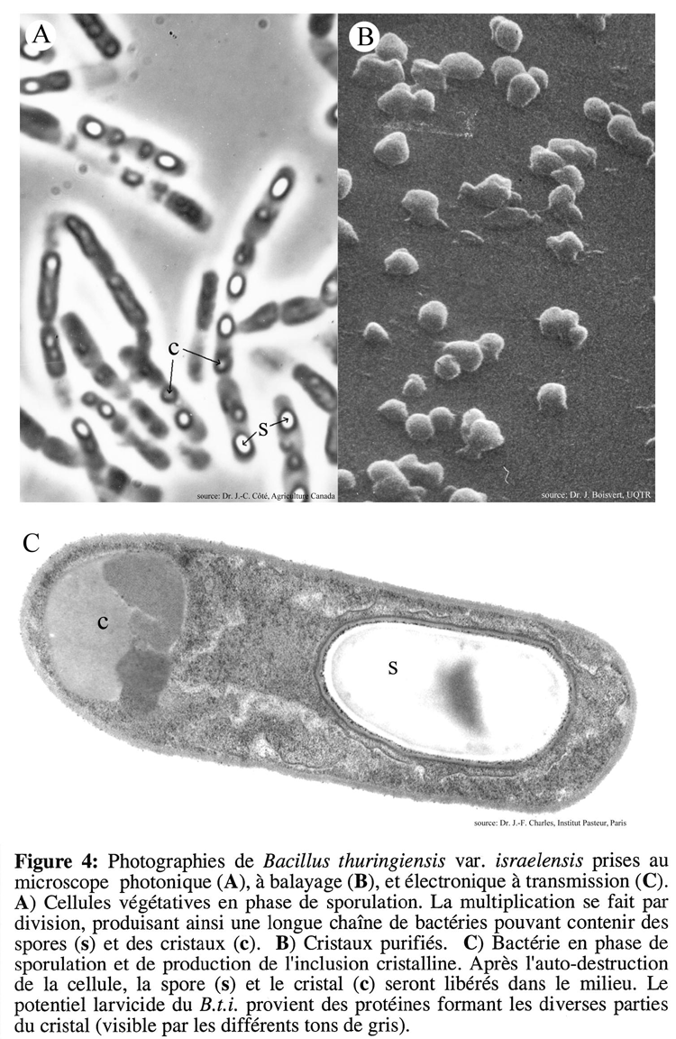 bacillus thuringiensis Bacillus thuringiensis (bt) is a species of bacteria that lives in soil it makes proteins that are toxic to some insects when eaten, but not others the proteins are not toxic to humans because, like all mammals, we cannot activate them.